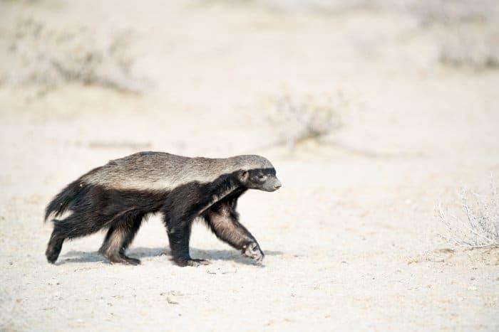 Honey badger encountered in Etosha National Park