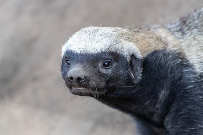 Close up of an unhappy honey badger