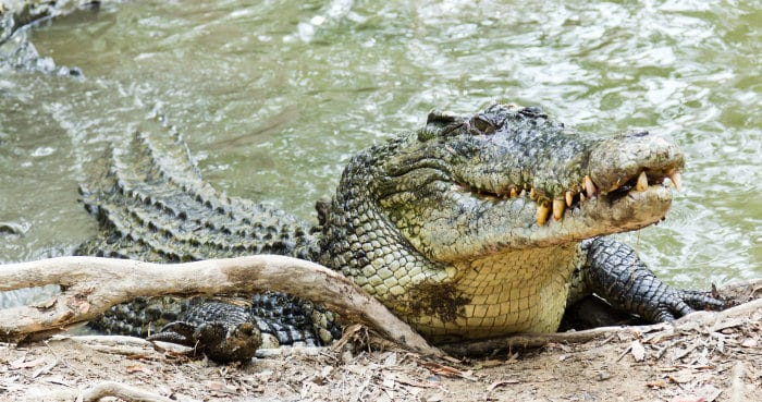 Huge saltwater crocodile in its natural habitat
