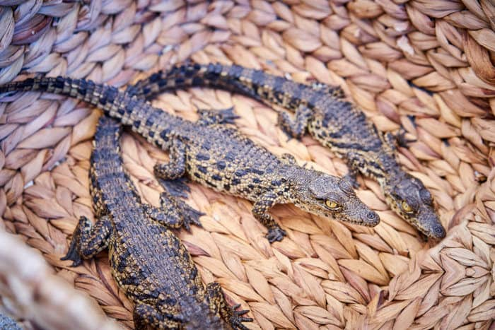 Illegal trade in Nile crocodile hatchlings