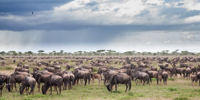 "An ""implausibility"" of wildebeest during the green season, Serengeti"