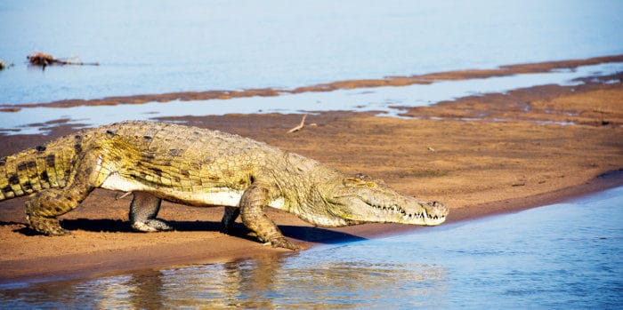 Large crocodile ready to take a dive, Selous Game Reserve