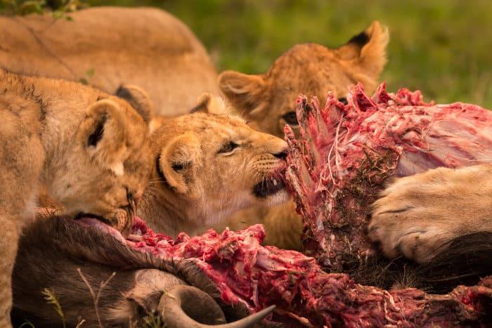 Lion cubs feeding on a wildebeest carcass