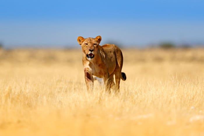 Big lioness in golden grass, Etosha