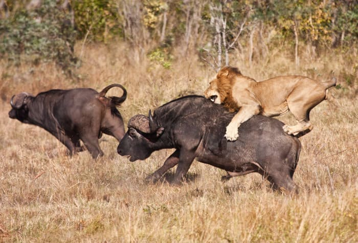 Lion unleashes the attack by riding on the back of a big buffalo bull