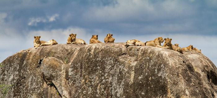 Pride of lions resting on a kopje, Serengeti