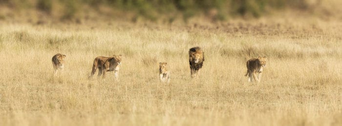 Pride of lions walking through the Masai Mara grasslands