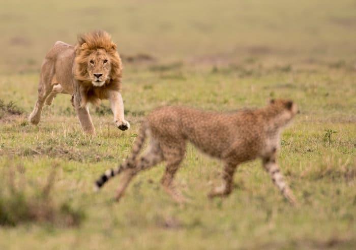 Male lion chases a cheetah in the Masai Mara, Kenya