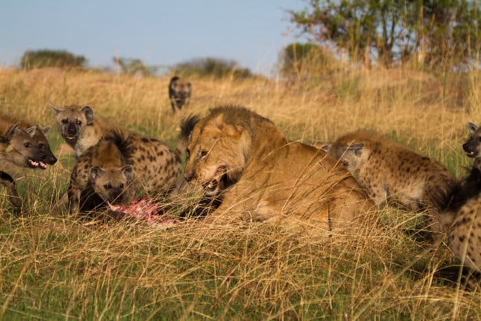 Lone lion and hyena battle over a warthog kill