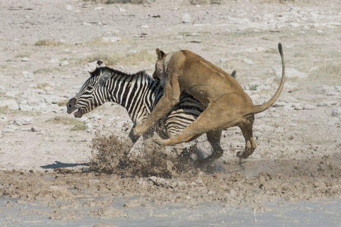 Lioness hunts zebra in Etosha