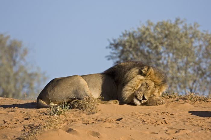 Male lion napping on top of a sand dune, in the Kalahari desert