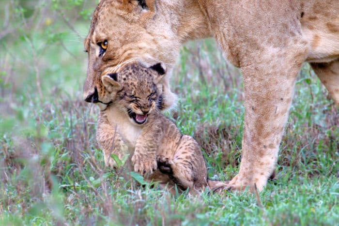 Baby lion does not look pleased as its mother wants to carry it away