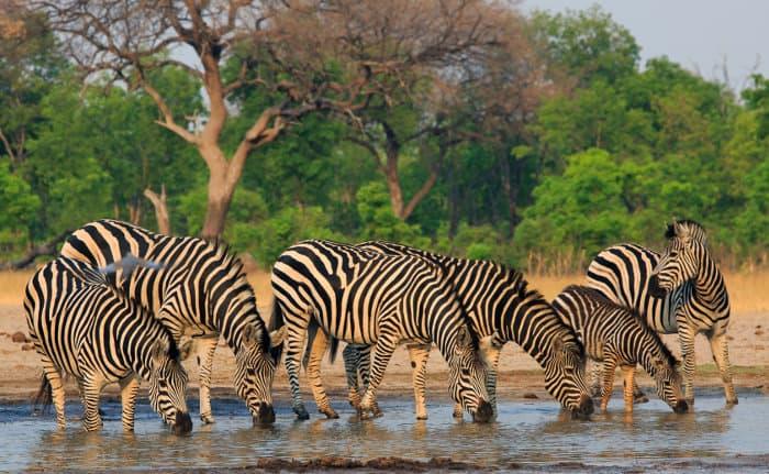 Plains zebra drinking from a local waterhole in Hwange, Zimbabwe