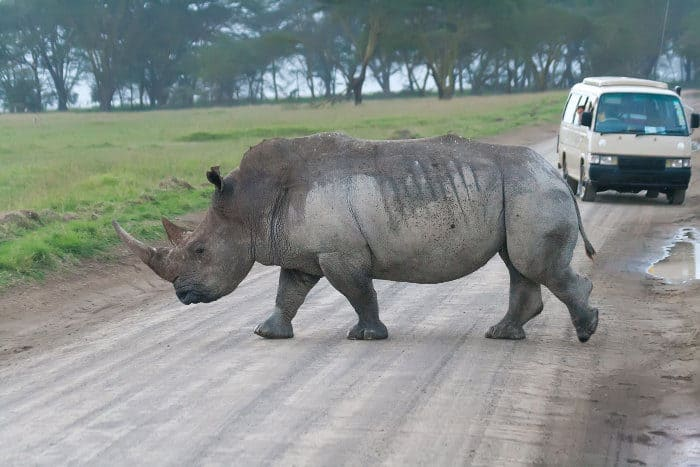White rhino crosses the road in front of tourists, Lake Nakuru