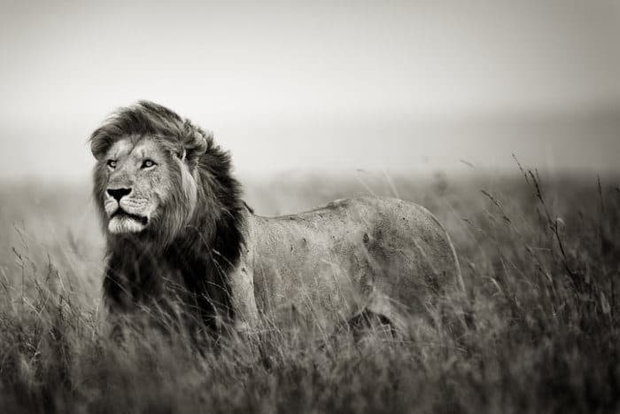 The King of the Savanna - Black and White