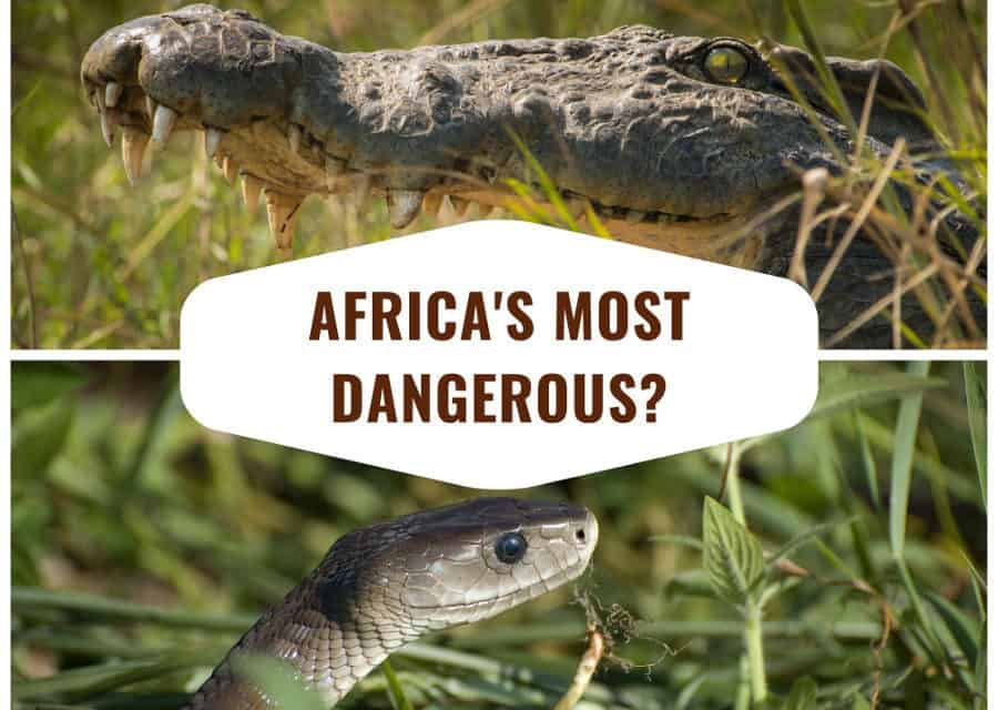 What is the most dangerous animal in Africa?