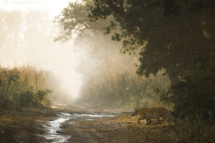 Tiger cub emerges from a thicket, in Corbett National Park