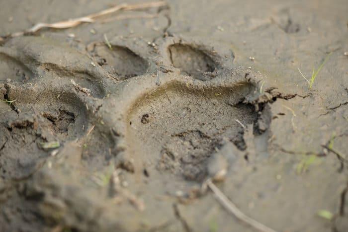 Royal Bengal tiger footprint in mud, Kaziranga National Park