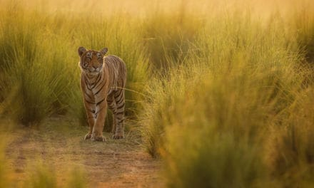 Are there tigers in Africa?