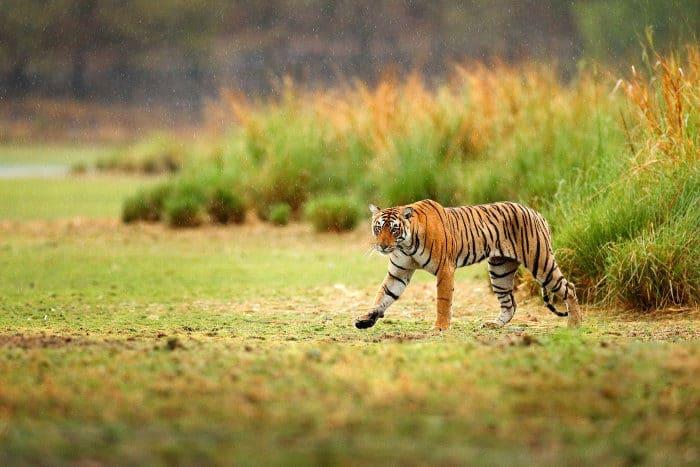 Bengal tiger in the rain, Ranthambore