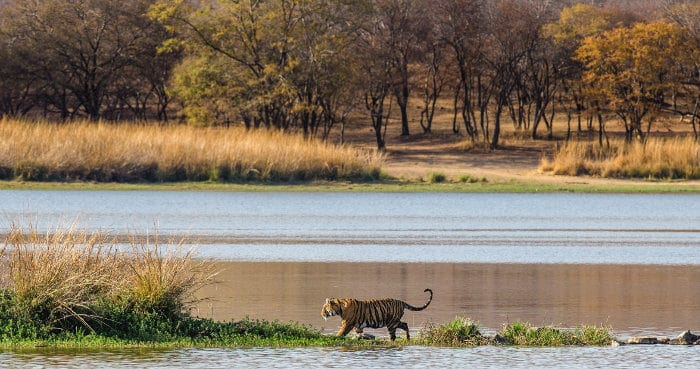Bengal tiger walking along the lake in Ranthambore National Park