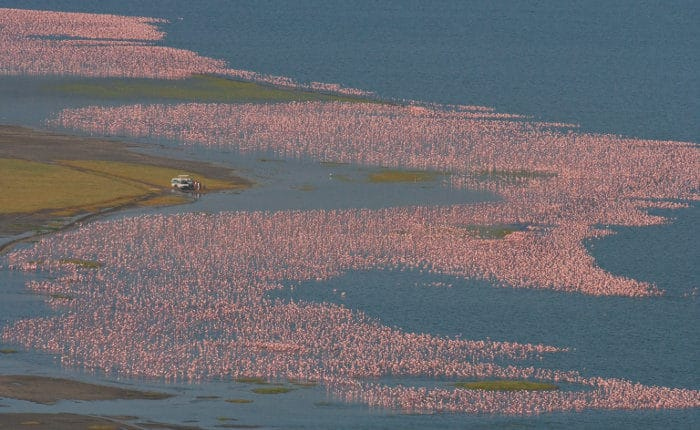 Tourists surrounded by large flocks of flamingo, Lake Nakuru