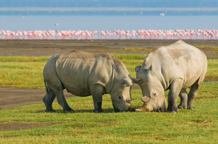 White rhino grazing in Lake Nakuru National Park