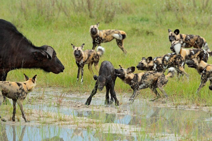 Desperate mom buffalo tries to defend her calf against a pack of hungry wild dogs
