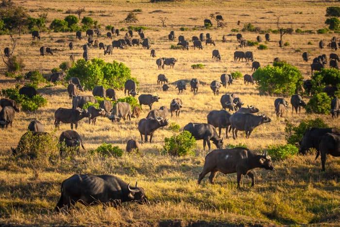 Huge herd of African (Cape) buffalo in Kenya