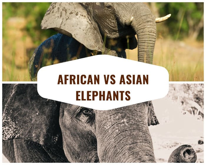 African vs Asian Elephants