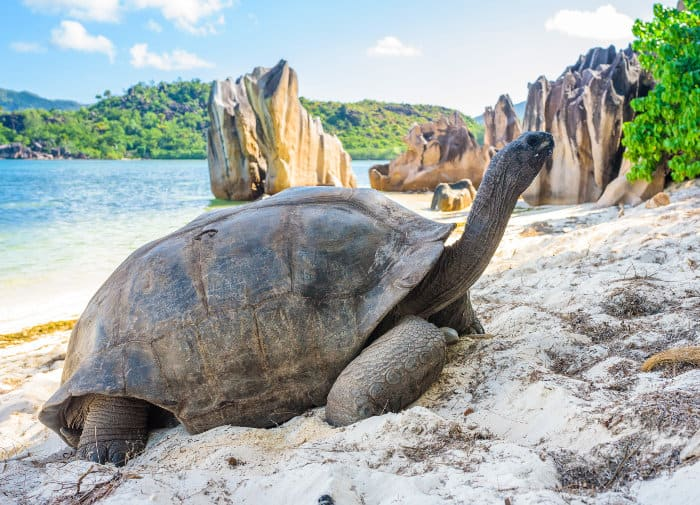 The Aldabra giant tortoise, pictured here in the Seychelles, is one of the largest land tortoises in the world