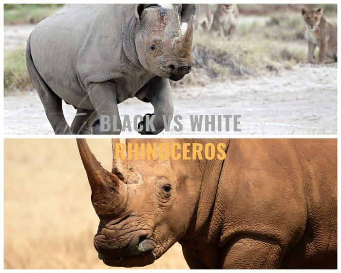 Black rhinoceros vs white rhinoceros