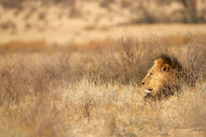 Black-maned lion in the Kalahari desert