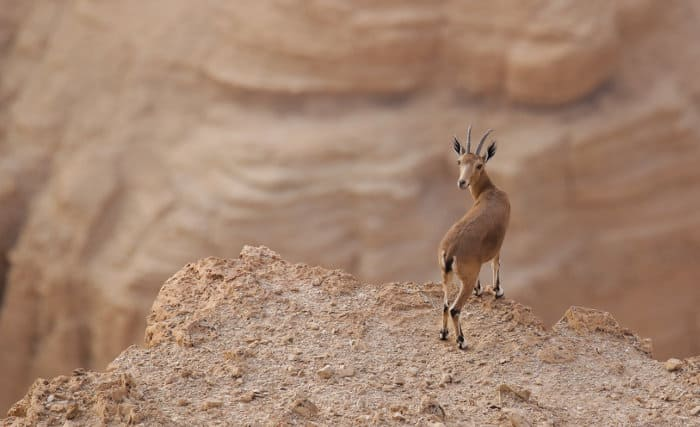 Female Nubian ibex standing on the edge of a cliff