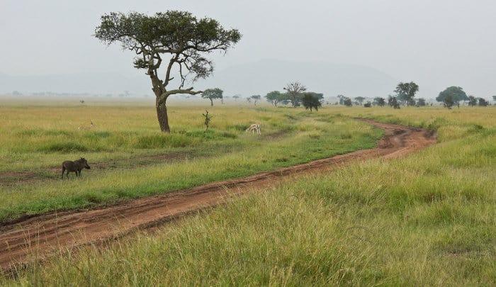 Lone warthog and Grant's gazelle during the rainy season, Serengeti