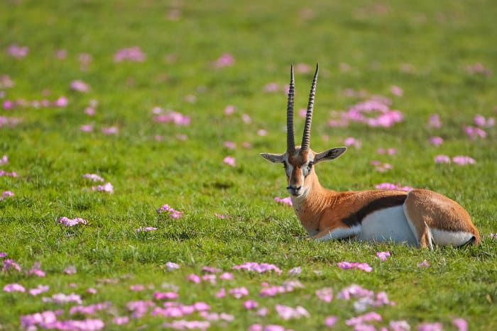 Thomson's gazelle in purple flowerbed, Amboseli