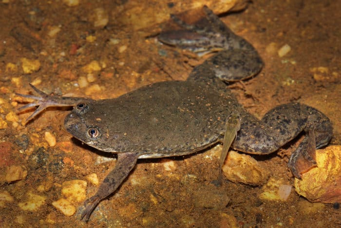 A rare Uganda clawed frog (Xenopus ruwenzoriensis) photographed in its natural environment