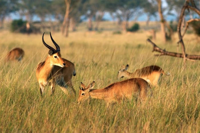 Ugandan kob in Queen Elizabeth National Park