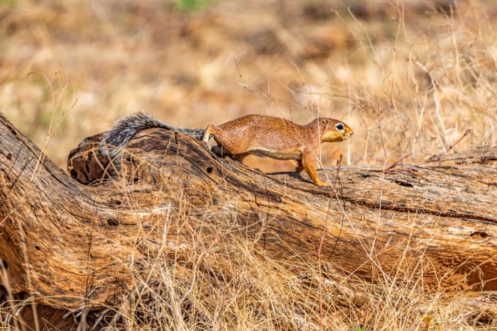 Unstriped ground squirrel moving cautiously along a log, Samburu National Reserve