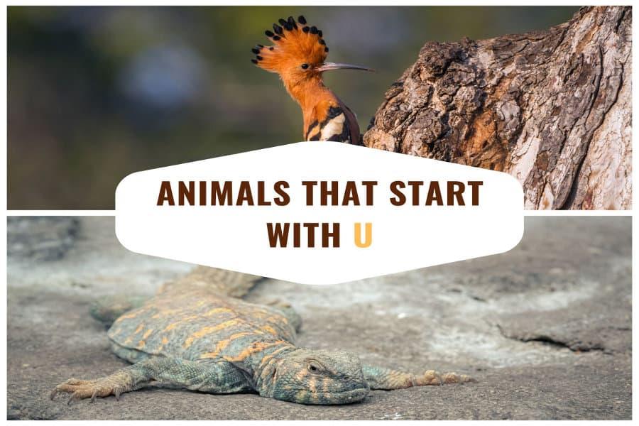 21 African animals that start with 'U'