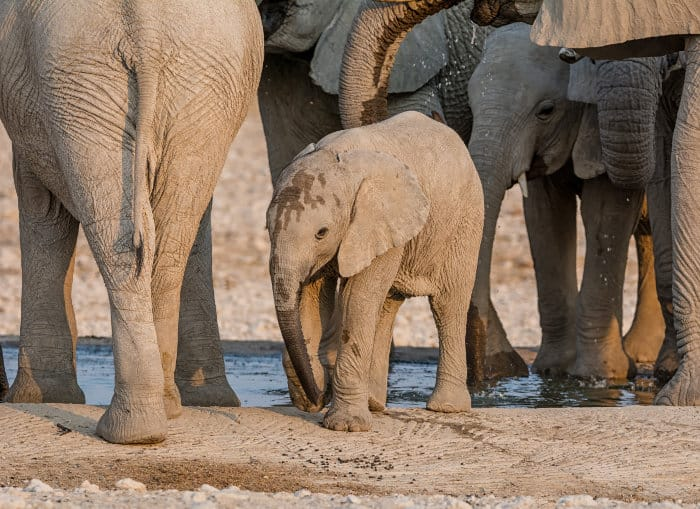 Baby elephant and his family at a waterhole in Namibia