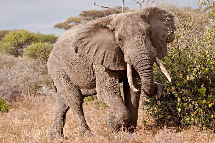 Big bull elephant mock charging, in Tarangire