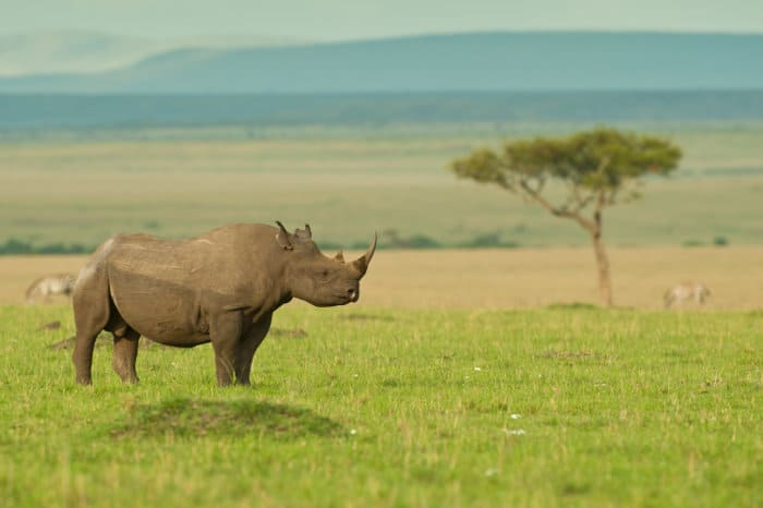 Lone black rhinoceros on the open plains of the Masai Mara