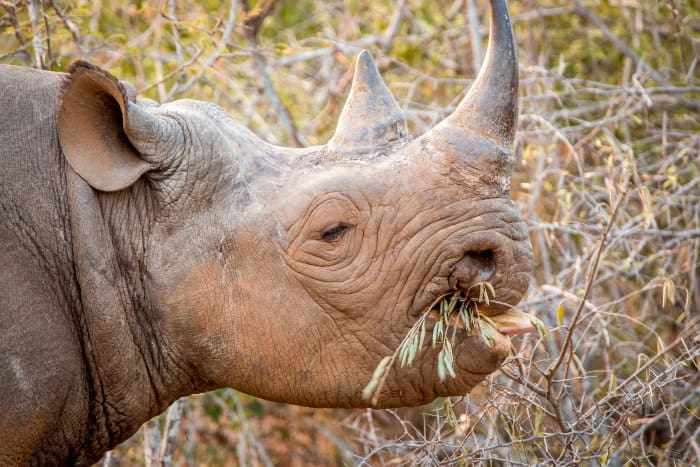 Black rhino browsing from a bush in Kruger National Park