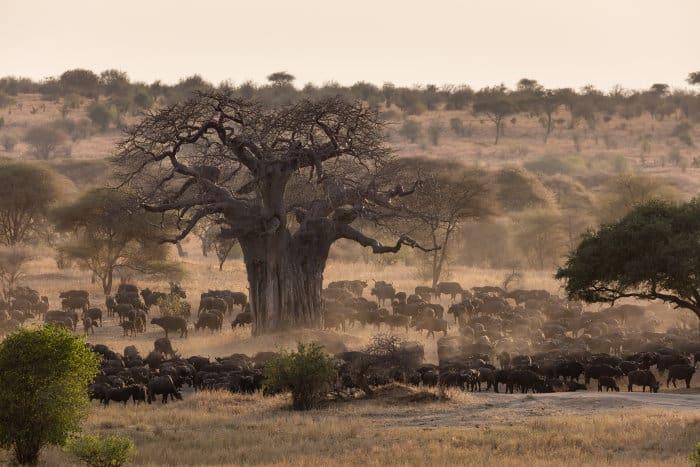 Buffalo herd in Tarangire, during the dry season