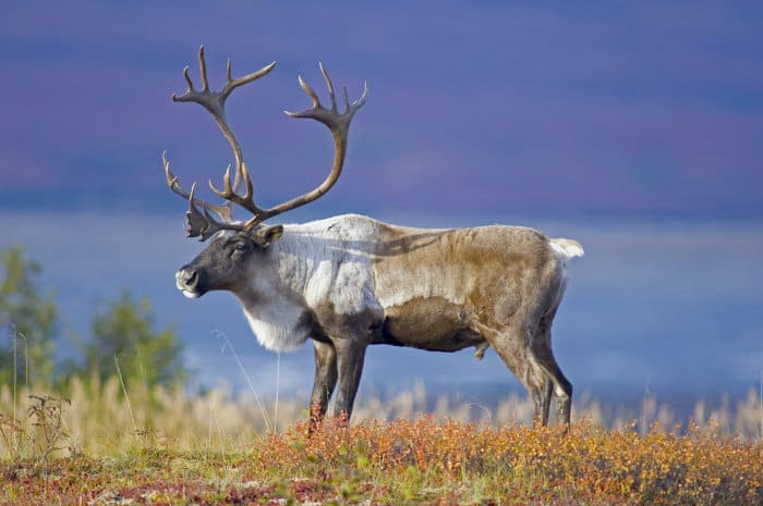 Male caribou with magnificent antlers, Toklat River basin
