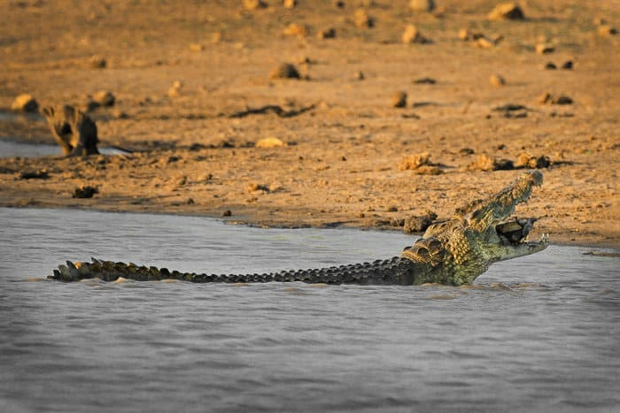 Nile crocodile devouring a small African helmeted turtle (marsh terrapin)