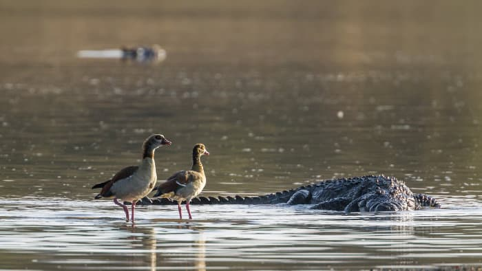 Nile crocodile and Egyptian geese in Kruger National Park