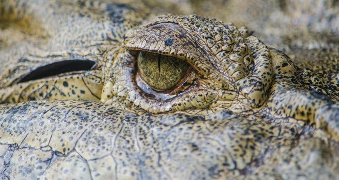 Crocodile eyelid macro