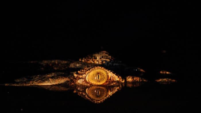 Crocodile eye shone with a spotlight at night